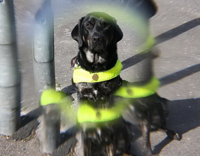 A young black labrador retriever cross bitch sits in the middle of the frame wearing her bright yellow guide dog harness. She has a stern expression on her face. The photographer has used a lens that causes slight distortion around the edges the picture as if one is seeing the image doubled and blurred.