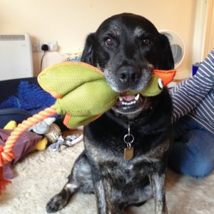 A black and tan retriever/labrador cross dog sits in the centre of the frame with a large green and yellow rubber chicken in her mouth. She (the dog) looks directly at the camera and seems to be grinning.