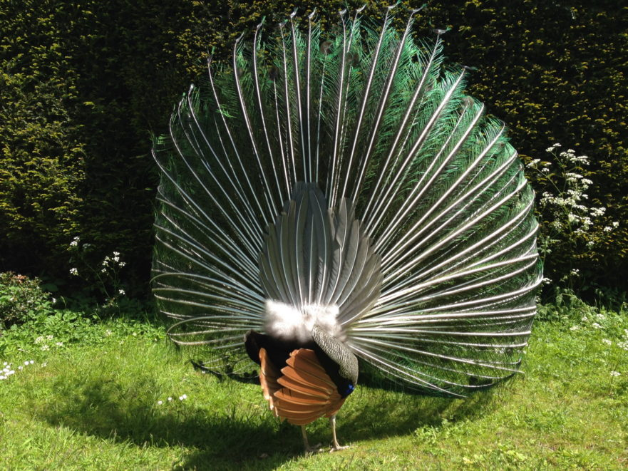 Close up rear view of feathers of strutting peacock against background of green grass and hedge