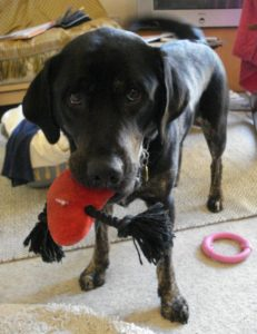 A black retriever/lab cross stands in the middle of the frame, head lowered and eyes looking up at camera with a red toy heart hanging from her mouth, another pink toy on the floor.