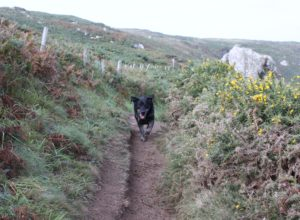 A rugged coastal path on the South West Coast with a grey boulder on the right of the frame and a white fence post on a bank to the left. A black dog is running down the path towards the camera, ears flapping and dust flying. Big frin on her face!
