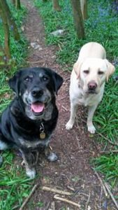 A black labrador- retriever cross is sitting staring into the camera with bright warm brown eyes and a grin on her muzzle. next to her, looking a little more serious, stands a younger golden labrador. They are on a path in the middle of some woods. They look very happy.