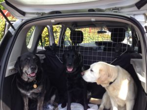 Three dogs sit in the boot of a car looking out at the camera. On the far left is a black and tan lab/retireiver cross, in the middle a black lab and on the right a pale goldem lab/retiriever cross leaning across to the other dogs.