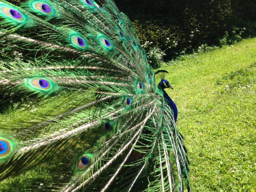 Close up side view of feathers of strutting peacock against background of green grass and hedge