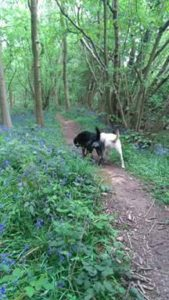 Two labradors, one yellow and one black, are heading away down a track in the middle of some beautiful green woods.