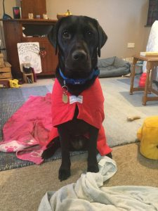 A lean black labrador sits looking directly into the camera wearing a bright red towling cape.