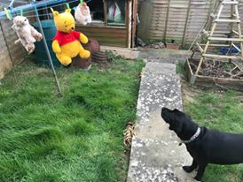 Several colourful soft toys including a large Pooh Bear, hang from a washing line.  A black dog looks anxiously up at her toys.